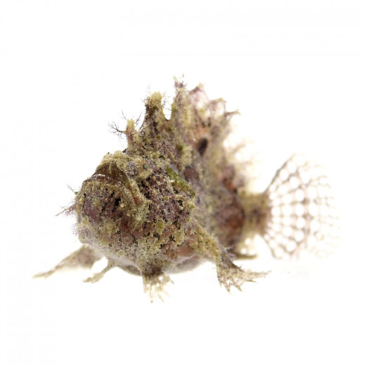 Marble-mouthed Frogfish