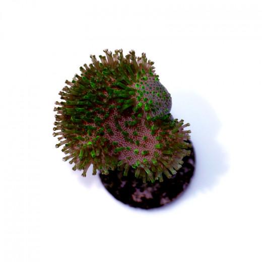 Sarcophyton ehrenbergi 'Green'
