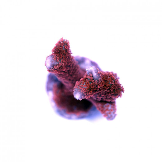 Montipora sp. 'Forest Fire'