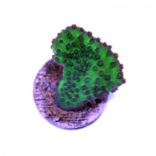 Turbinaria sp. 'Green Scroll'