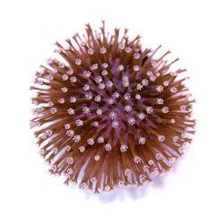 🎉Shop-Update! . Welche dieser 5 Korallen gefällt Dir am besten? 🤔 . . . #sarcophyton #zoanthus #duncanopsammia #klyxum #montipora #aquaculturedmarinelife #allmymoneygoestocorals #reefers4reefers #coralreeftank #meerwasseraquarium