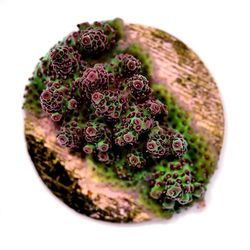 Acropora hyacinthus 'Red Planet' . Jetzt online verfügbar! . . . #acropora #spscoral #acroholic #reefcandy #coralporn #allmymoneygoestocoral #corallovers #meerwasseraquarium #reefjunkie #koralle #eatsleepreef