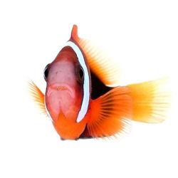 Portrait des Glühkohlen-Anemonenfischs - Amphiprion melanopus 🙂 . Letztens wurde der Name missverstanden und aus Glühkohlen wurde erst Blumenkohl und dann Grünkohl 😄 . Wer kennt ihn nicht, den beliebten Blumenkohl-Anemonenfisch? 😉 ➡️ Natürlich auch bei uns im Shop als Nachzucht erhältlich! . . ....