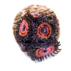 🎉 Shop-Update - und mit dabei: Zoanthus 'Devils Armor' . Sicher sind wir uns mit dem Trivialnamen bei dieser Zoa nicht. Bei der Namenswahl orientieren wir uns meistens nach dem Meerwasserlexikon oder der Korallen-Datenbank auf reefs.com, schauen uns aber auch mal in anderen Shops um...