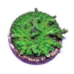 """Acropora sp. - Wir nennen sie ganz kreativ: """"Acropora sp. Green"""" 😄 . Die Bilder zeigen die Koralle von (1) oben unter Tageslicht - 12.000 K, (2) oben unter Blaulicht - 18.000 K und (3) von der Seite unter Tageslicht. . Was denkt ihr? Ausreichend, um einen guten und realistischen..."""