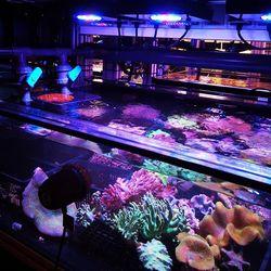 Diese Woche haben wir die ersten Import-Korallen von der Quarantäne in die Zuchtanlagen umgezogen. Der erste Korallen-Kreislauf ist somit auch schon ganz gut gefüllt 😄 . . . #aquaculturedmarinelife #meerwasseraquarium #riffaquaristik #korallenzucht #coralaxyfarm #eatsleepreef #saltwatertank...