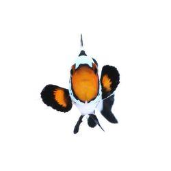 Hoch die Flossen, äh... Hände, Wochenende! . Denkt dran am kommenden Montag geht unser Shop online - also schaut vorbei: www.coralaxy.de 👈 . Wir freuen uns auf Euch! ☺️ . . . #weekendvibes #reeftankvibes #eatsleepreef #meerwasseraquarium #heyfishyfishy #clownfisch #hochdiehändewochenende