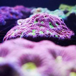 Einmal durch die Scheibe geguckt 🤩 . Blick in eines unserer LPS-Broodstock Becken. Etwa 3x die Woche füttern wir die LPS nachts direkt mit der Pipette. .  Füttert ihr eure LPS-Korallen gezielt? Wenn ja, wie oft in der Woche macht ihr das? . . . #lpscoral #coralaxyfarm #favites #eatsleepreef...