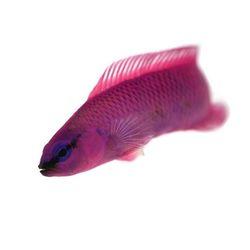 Pseudochromis fridmani . Dieser Zwergbarsch ist ein richtiger Farbtupfer im Aquarium. Aktiv und schwimmfreudig wuselt er durchs Becken und beäugt den Aquarianer gelegentlich mit seinem neugierigen Blick. . Was ist Dein aktivster Fisch im Aquarium? . . . #pseudochromis #fridmani #zwergbarsch...