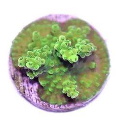 🍾 Wir haben Euch lang genug warten lassen, aber ab sofort könnt ihr gesunde, muntere, bunte, farbenfrohe und natürlich überaus gutaussehende Korallen bei uns shoppen. 😜 . 100% aus Aquakultur - ist ja klar! . Wir bieten Euch 5 verschiedene Zahlungsmethoden zur Auswahl, ihr könnt euren...
