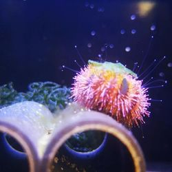 Heute eingetroffen bei Coralaxy: unter anderem kleine Kugel-Seeigel aus Aquakultur - Mespilia globulus 😍 . Sie messen gerade etwa 2-4 cm im Durchmesser, befinden sich jetzt erstmal in Quarantäne und dürfen in Ruhe ankommen. . Nach wie vor ist es immer noch sehr schwierig die Cleaning Crew aus...