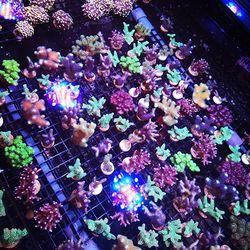 Wir haben irgendwie das Gefühl, die Korallen wachsen besser, wenn sie wild durcheinander stehen. Deshalb sieht das jetzt so aus bei uns 😄 . In der Natur kämpfen unterschiedliche Korallenarten ja auch vor allem um Raum und Siedlungsfläche - ganz nach dem Motto: wer schneller wächst, gewinnt. ....